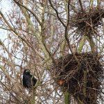 カラスの雛が巣から落ちた!?拾った雛を保護できる?