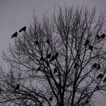 カラスの繁殖期と夜について