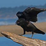 カラスの中でも渡り鳥はどんな種類?渡り鳥以外に旅する鳥って?