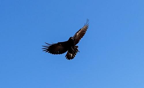 カラス 翼 構造色