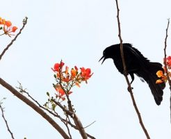 カラス 鳩 食べる