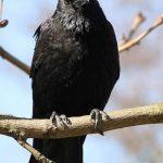 烏という漢字は何で鳥と似てるの?「烏」と「鴉」の違いは何?カラスにまつわる漢字を解明!
